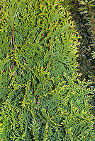 Thuja occidentalis 'Smaragd' Emerald Green Arborvitae