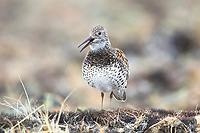 Great Knot (Calidris tenuirostris) giving alarm laugh vocalization on the breeding grounds. Chukotka, Russia. May.