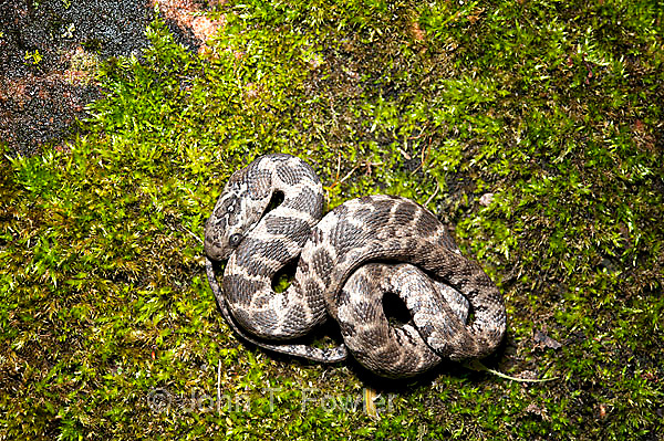 Immature Northern Water Snake, Nerodia sipedon