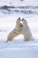 Polar bears play fight in the snow while waiting for the ice form on the Hudson bay in Churchill, Manitoba, CANADA