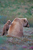 Grizzly Bear with cub, Denali National Park, Alaska