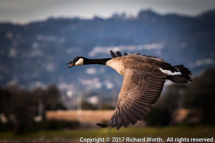 A Canada goose with its mouth open in flight against a soft focus background at the MLK Regional Shoreline in Oakland, CA.