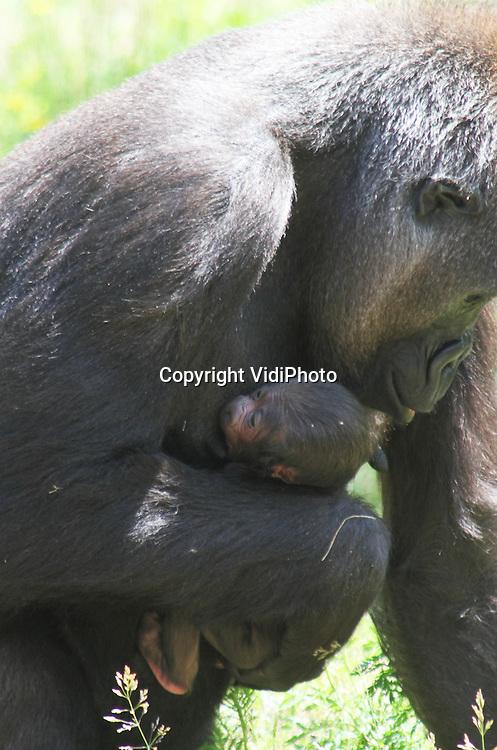 Foto: VidiPhoto..APELDOORN - Met de vijfde geboorte in één gorillagroep in één jaar heeft de Apenheul in Apeldoorn een wereldrecord in handen. De laatste telg van vader Jambo was maandag voor het eerst door het publiek te zien. Moeder is het jonge vrouwtje Kisiwa. Het is nog niet goed te zien wat het geslacht van de gorillababy is. Nog niet eerder is het gebeurd dat in één gorillagroep vijf jongen in hetzelfde jaar zijn geboren..