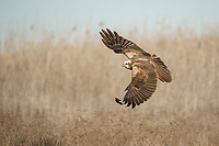 Circus aeruginosus<br />