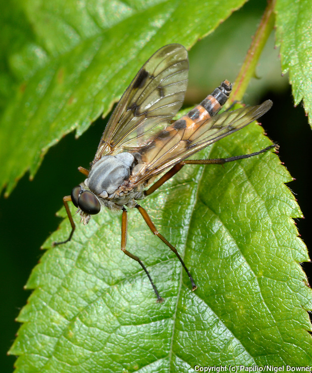 Close-up of a male Downlooker snipefly (Rhagio scolopaceus) resting on a leaf in a Norfolk woodland habitat in summer.