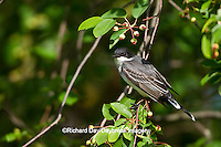 01254-00911 Eastern Kingbird (Tyrannus tyrannus) in Serviceberry bush (Amelanchier canadensis) Marion Co., IL