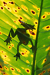 Silhouette of a treefrog on a leaf in the rainforest of Peru.