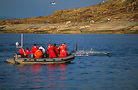 Killer whale, Orcinus orca, Carousel feeding with jumping herring near whale watching zodiac, Tysfjord, Arctic Norway, North Atlantic