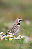 Horned lark on with a mouthful of bugs and insects on the springtime tundra, Denali National Park, Interior, Alaska.