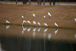 Great white egrets rest as evening falls.