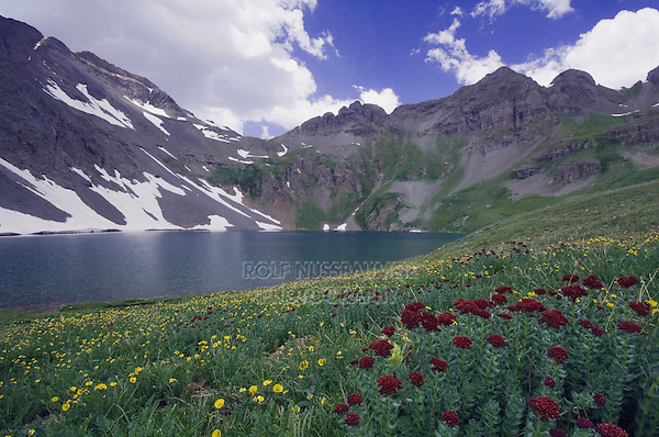 Clear Lake with wildflowers in alpine meadow,Ledge Stonecrop,Rhodiola integrifolia,Alpine Avens, Ouray, San Juan Mountains, Rocky Mountains, Colorado, USA
