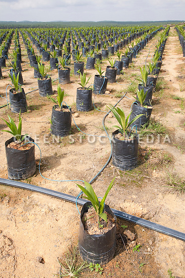The on-site oil palm tree nursery using drip irrigation to water the potted plants, conserving water and preventing erosion. The Sindora Palm Oil Plantation, owned by Kulim, is green certified by the Roundtable on Sustainable Palm Oil (RSPO) for its environmental, economic, and socially sustainable practices. Johor Bahru, Malaysia