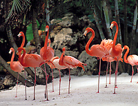 USA, Florida, Flamingos | USA, Florida, Flamingos