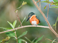 American pygmy kingfisher, Chloroceryle aenea, on a branch beside the Tarcoles River, Costa Rica