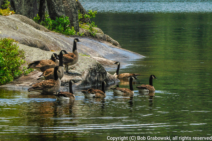 A flock of Canada Geese, Branta canadensis, on Pharoah Lake in the Adirondack Mountaians in New York State