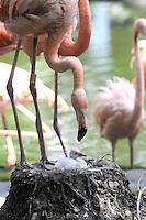 MEDELLÍN -COLOMBIA-16-11-2013. El zoologico Santa Fe de Medellin logró la reproducción exitosa de dos flamencos rojos en cautiverio después de catorce años de espera. Estas aves estan en via de extinción por lo cual es un logro importantisimo para la especie./ Santa Fe de Medellín Zoo achieved successful the procreation in captivity of two red flamingos after fourteen years of waiting. These birds are in danger of extinction and that is why this is an important achievement for the specie. Photos: Vizzorimage / Luis Rios / Stringer