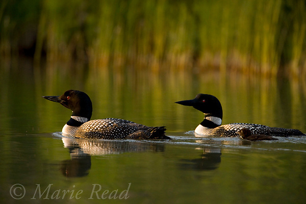 Common Loons (Gavia immer), 2 adults and chick swimming, Michigan, USA
