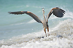 Captiva Island, Florida; a Great Blue Heron (Ardea herodias) bird spreads it's wings for balance as a wave crashes on the shore © Matthew Meier Photography, matthewmeierphoto.com All Rights Reserved