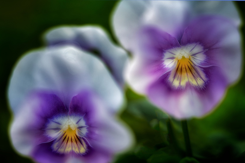 Close up of Viola. Oregon