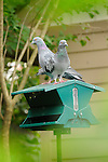 Bird feeder in backyard with pigeon