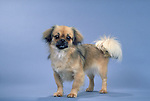 Tibetan Spaniel<br />