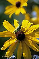 OR15-003x  Grasshopper - nymph on black eyed Susan flower