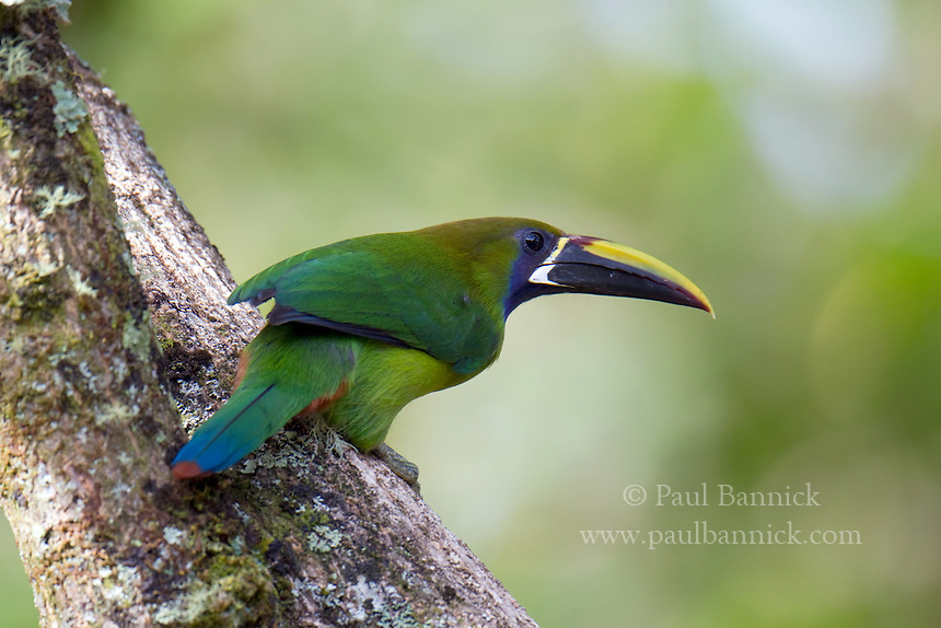 An Emerald Toucanet, Aulacorhynchus prasinus, prepares to enter his nest cavity to feed his young.