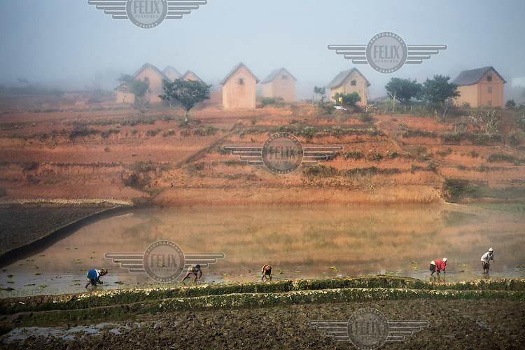 Women and children, seen from a train travelling between  Fianarantsoa and Manakara, at work in a rice paddy.