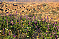 Wildflowers including Arizona Lupine (Lupinus arizonicus) and Desert Gold Poppy or Goldenpoppy (Eschscholzia glyptosperma) at the Carrizo Badlands Overlook, Anza-Borrego Desert State Park, California