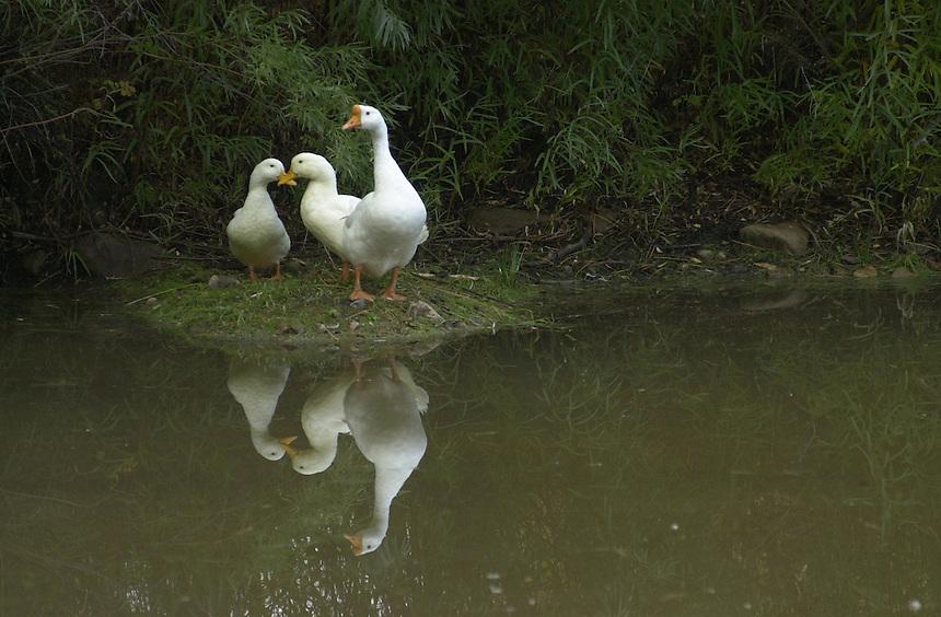 Ducks on a pond near Durango, Colorado.