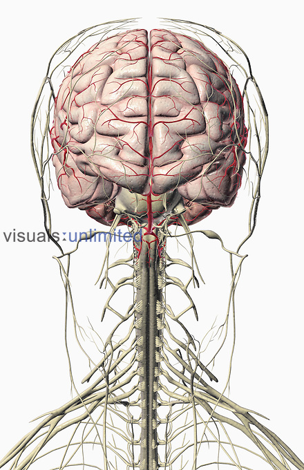 An anterior view of the brain and the nerves of the head and neck. (The arteries of the brain are also included.) Royalty Free