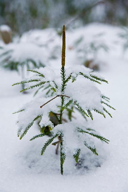 Ground Cedar, ground pine or rare clubmoss (Lycopodium obscurum) in winter