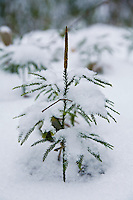 Ground Cedar, ground pine or rare clubmoss (Lycopodium obscurum) in winter