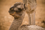 A newly born camel calf belonging to a bedouin family in the Jabal Samhan, Oman.