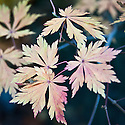 Autumn foliage of Full-moon or Downy maple (Acer japonicum 'Aconitifolium'), early November.