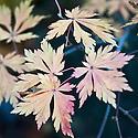Autumn foliage of Full-moon or Downy maple (Acer japonicum 'Aconitifolium'), early November.
