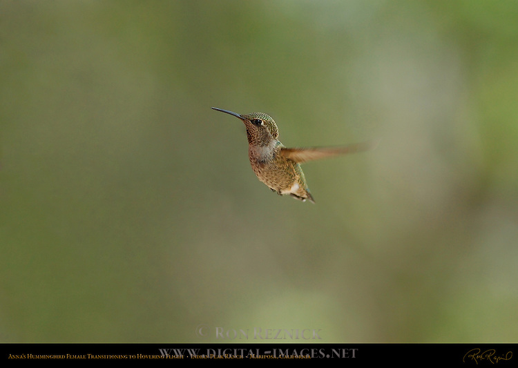 Anna's Hummingbird Female Transitioning to Hovering Flight, Indian Peak Ranch, Mariposa, California