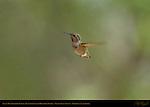 Anna's Hummingbird Female Transitioning to Hovering Flight, Indian Peak Ranch, Mariposa, California