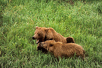 609680065 a mother and cub brown or grizzly bear ursus arctos interact in tall grasses near mcneil river in southwest alaska