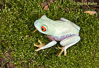 0306-0912  Red-eyed Tree Froglet (Young Frog), Agalychnis callidryas  © David Kuhn/Dwight Kuhn Photography.