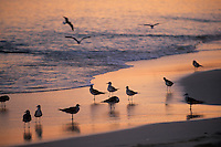 """Iles Bahamas / New Providence et Paradise Island / Nassau: Hotel """"One & Only Océan Club"""" mouettes sur la plage à l'aube"""