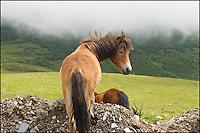 A cute Tibetan pony.