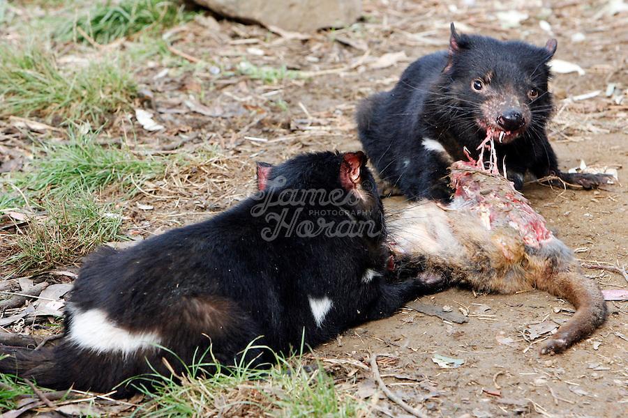 Tasmanian Devil Vs Cat