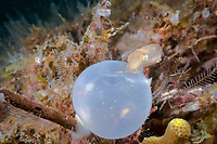 broadclub cuttlefish, Sepia latimanus, baby, hatching from its egg case, Philippines, Pacific Ocean