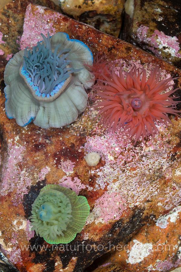Pferdeaktinie, verschiedene Farbvarianten, Pferde-Aktinie, Aktinie, Purpurrose, Actinia equina, Seeanemone, See-Anemone, beadlet anemone, sea anemone, beadlet-anemone, sea-anemone, sea anemones, Blumentier, Blumentiere, Anthozoa