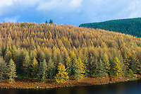 Larch trees and conifers in varying shades of colour in coniferous forest plantation for timber production in the Brecon Beacons mountain range, Wales, UK