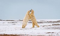 Adult male Polar Bears battle on a spit of land off the coast of Kaktovik, Alaska.  This was probably just sparring, but blood was drawn and some fur went flying.  The size, strength and power of these magnificent animals awed us.  Kaktovik, Alaska.
