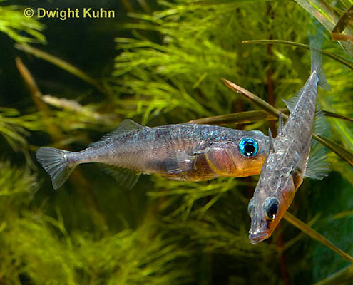 1S17-626z Male Threespine Sticklebacks defending territories, Mating colors showing bright red belly and blue eyes,  Gasterosteus aculeatus,  Hotel Lake British Columbia