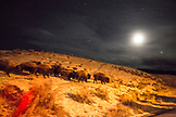 USA, Wyoming, Yellowstone National Park, bison walking in the night under the moon adn stars, near the North Entrance into the park, Winter