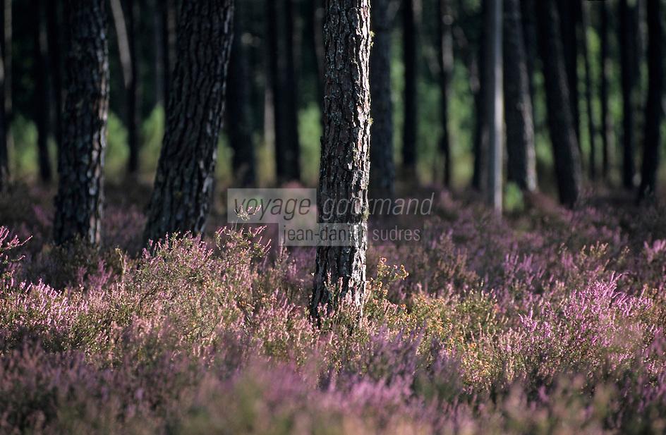 Europe/France/Aquitaine/40/Landes/Parc Naturel Régional des Landes de Gascogne/Vallées des Leyres/Pissos: Forêt landaise et bruyère